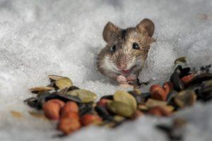 Грызут ли мыши СИП-панели?